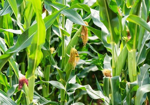 自有玉米种植基地